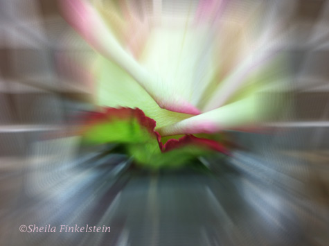color tinged rose - blurred out with FX Effect from Photo Studio app for iPhone