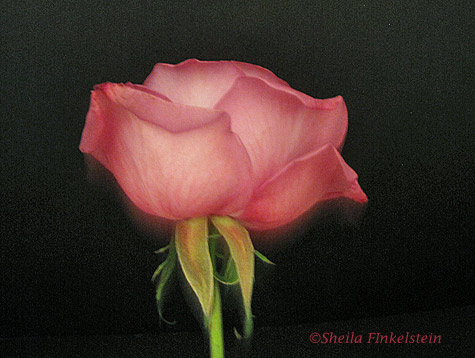 pink rose opening bud