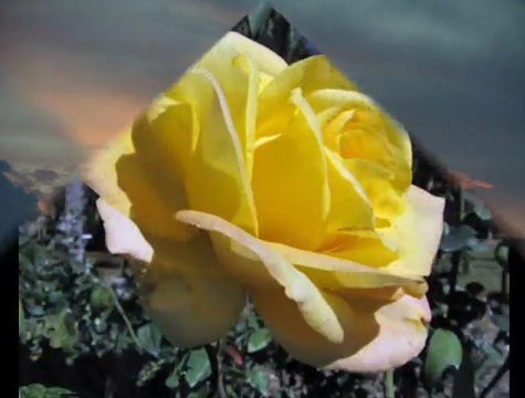 Yellow rose from video Song of the Rose by Lynn Serafinn