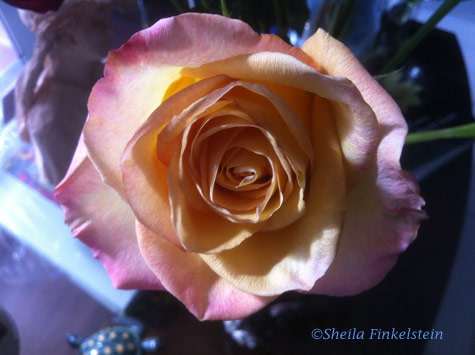 Yellow pink rose