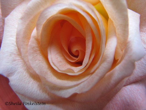 close up of center of rose