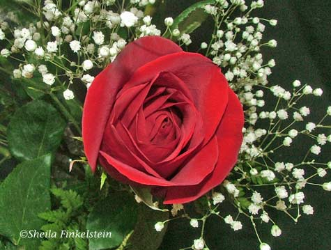 red rose flower background. two red rose photographs