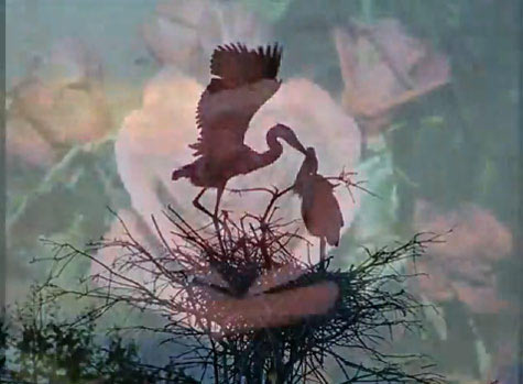 """Great Blue Herons and Castera Rose from """"Song of the Rose"""" video"""