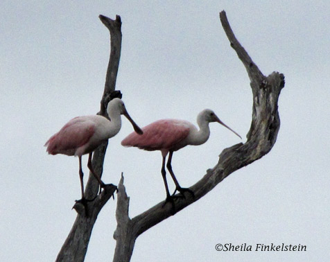 Roseate Spoonbills in a tree in Green Cay Wetlands