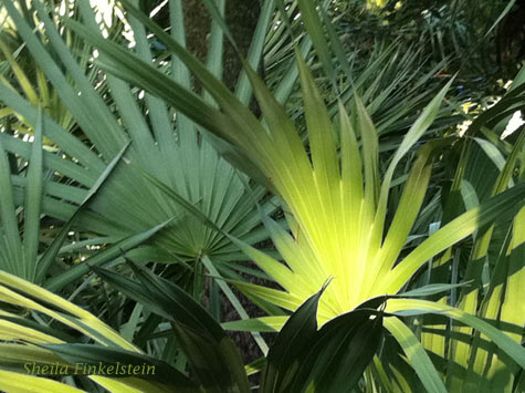 iphoto of sunlit palm leaves at Green Cay wetlands