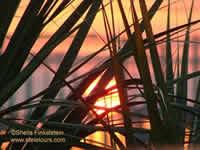 Sunset through reeds
