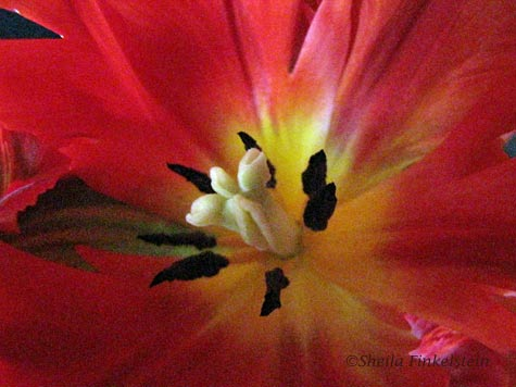 center of a parrot tulip