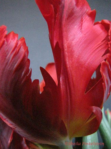 Parrot tulip opening up