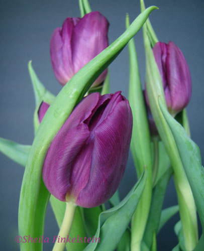 Purple Tulip #1