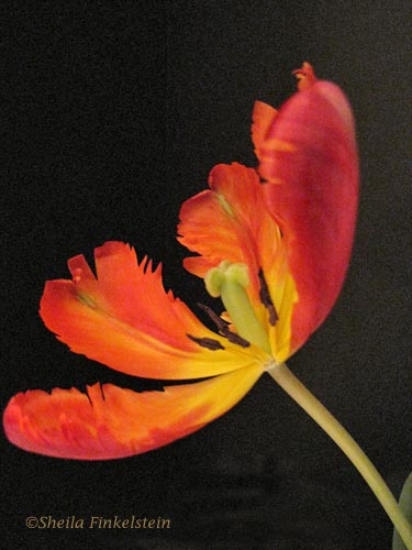 open parrot tulip - sideview