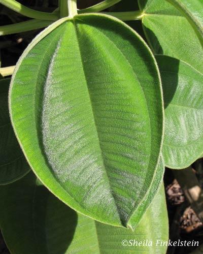 velvet-like leaf of a plant in the AOS Gardens