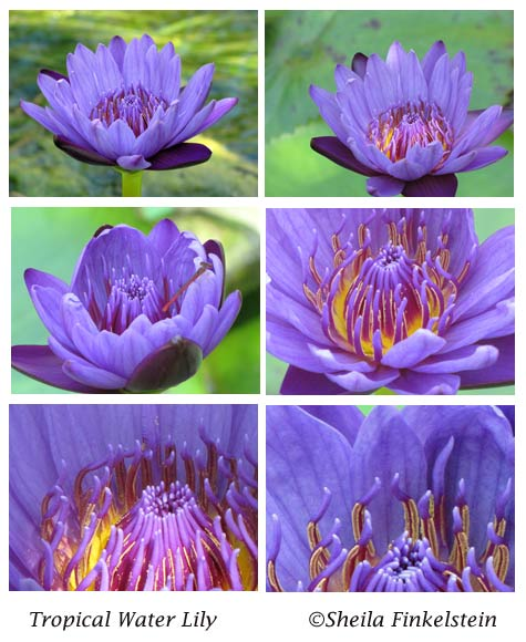 composite of 6 purple tropical water lily photos