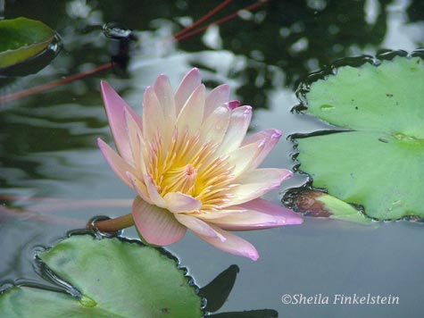 Pink tropical water lily in Four Arts Garden in Palm Beach