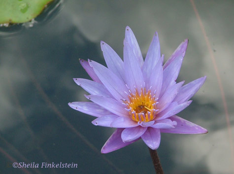 Purple tropical water lily in Four Arts Garden in Palm Beach