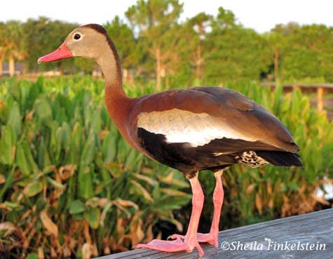 Whistling Duck 1