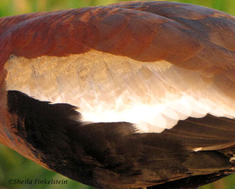 Black-belllied Whistling Duck feathers - close-up